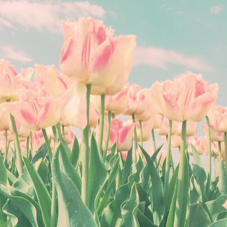 Beterschapskaarten - roze tulpen in't veld