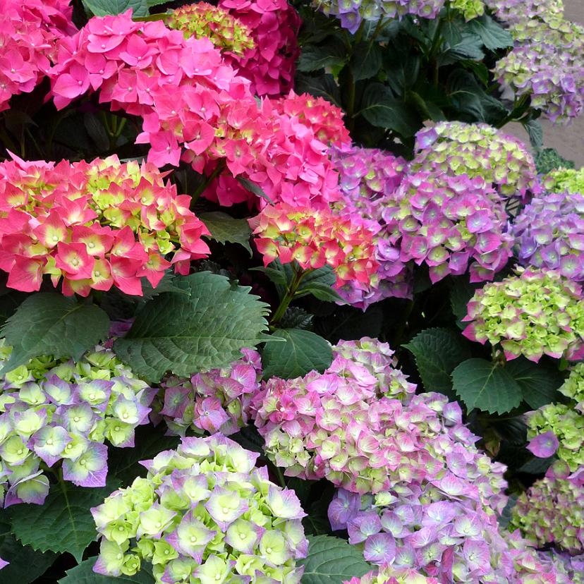Bloemenkaarten - Bloemen Kleurige Hortensia s