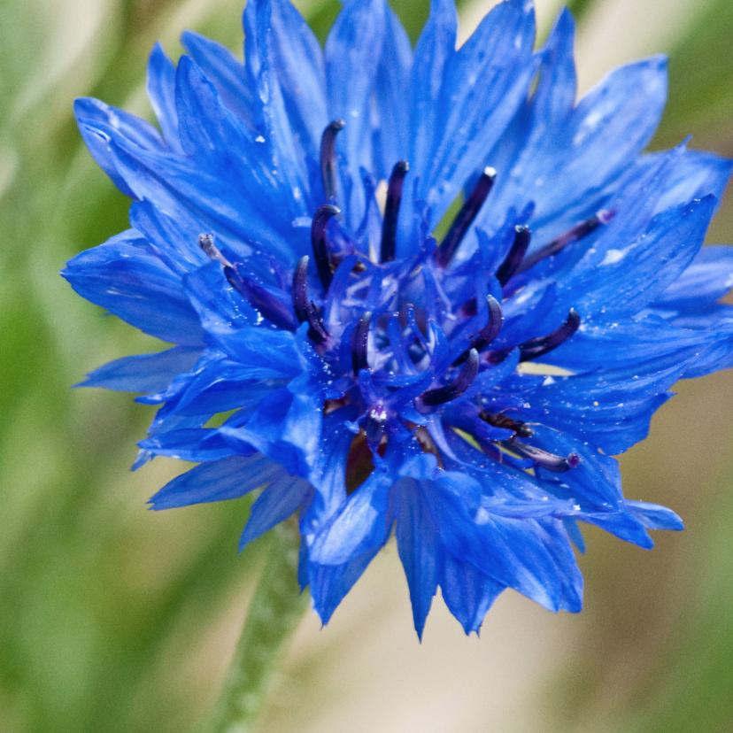 Bloemenkaarten - Bloemenkaart blauw