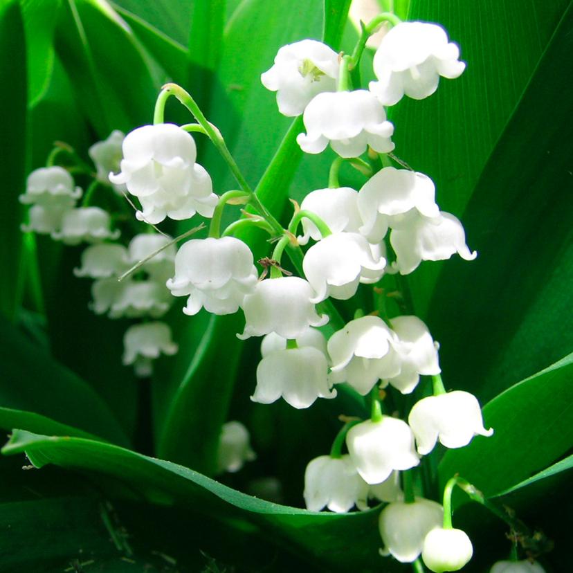 Bloemenkaarten - Bloemenkaart lelietjes