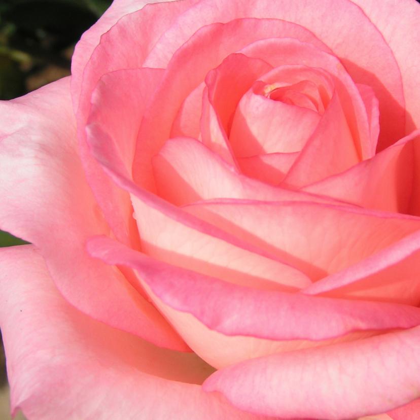 Bloemenkaarten - Bloemenkaart met een roos