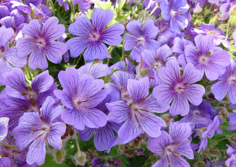 Bloemenkaarten - Bloemenkaart paars blauw zonder tekst