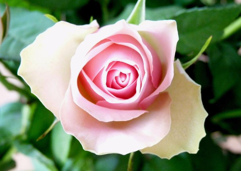 Bloemenkaarten - Bloemenkaart roze Roosje