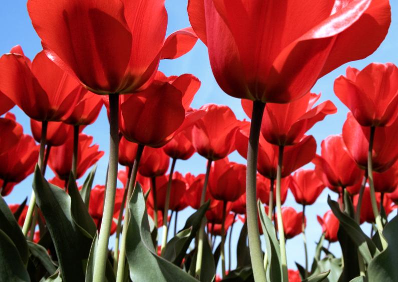 Bloemenkaarten - Bloemenkaart Tulpenveld - BK
