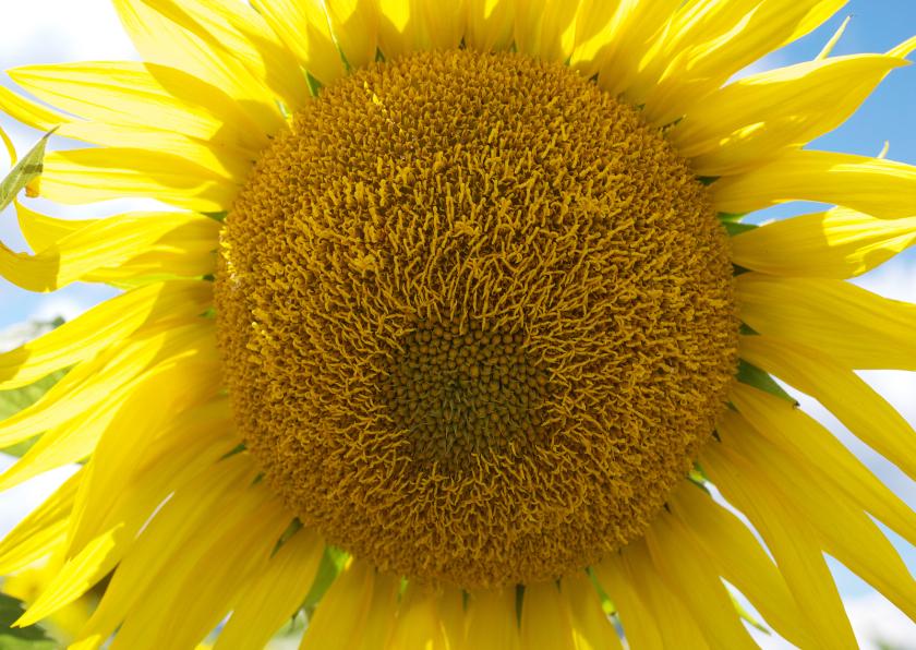 Bloemenkaarten - Fotokaart-zonnebloem Anet Fotografie