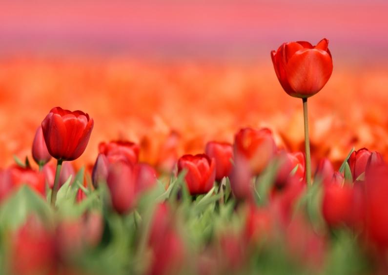 Bloemenkaarten - Kaart met schitterende rode tulpen
