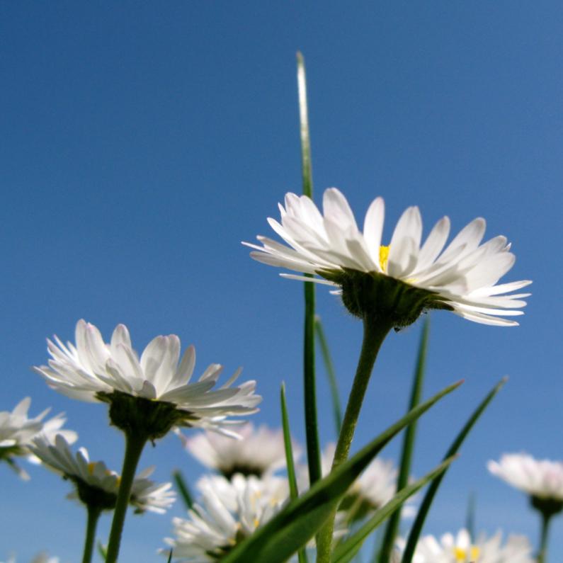 Bloemenkaarten - Madeliefjes in de zon