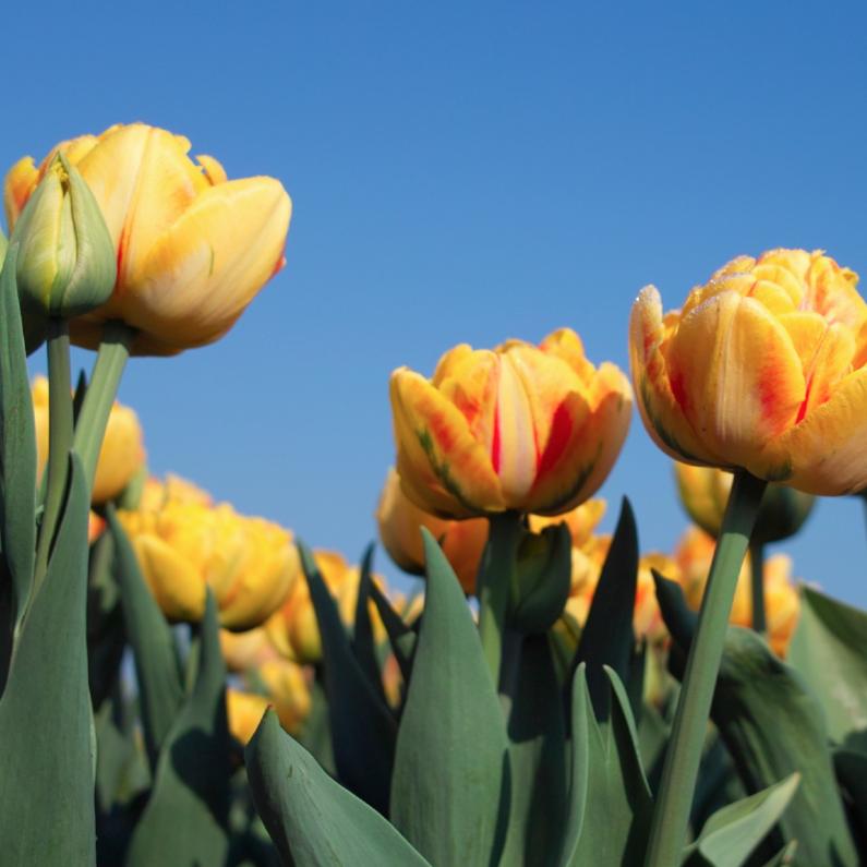 Bloemenkaarten - oranje tulpen in het veld 2