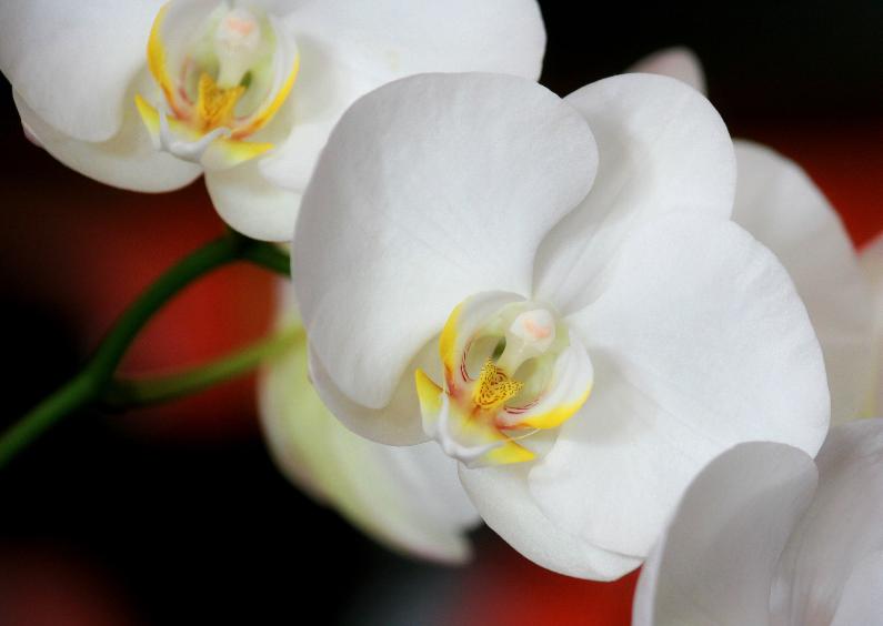 Bloemenkaarten - Orchidee - Bloem - OT