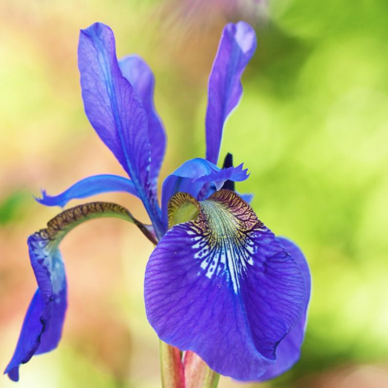 Bloemenkaarten - Paarse iris