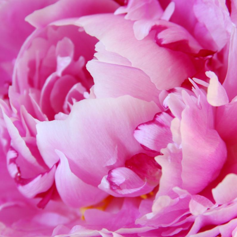 Bloemenkaarten - Pioenroos in volle bloei 2 - OTTI