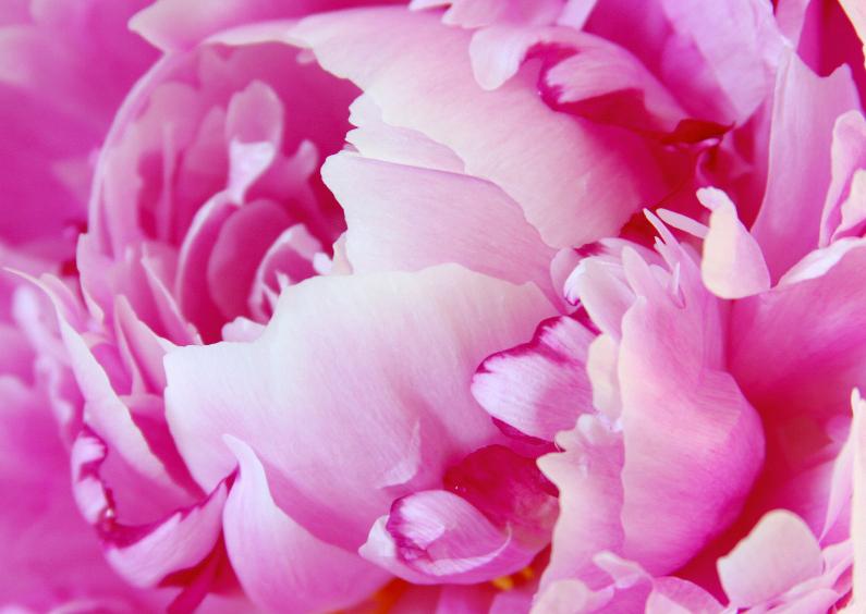 Bloemenkaarten - Pioenroos in volle bloei - Zomer