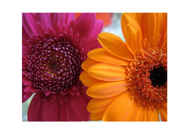 Bloemenkaarten - Roze en oranje Gerbera