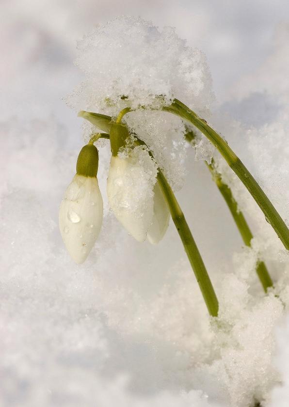 Bloemenkaarten - Sneeuwklokjes in sneeuw