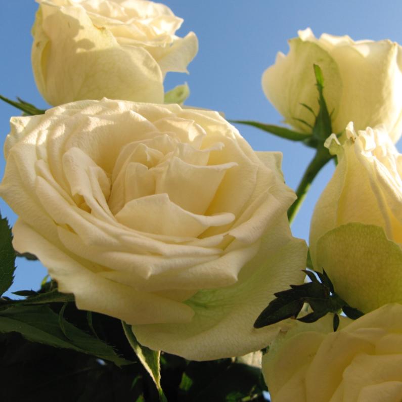 Bloemenkaarten - witte rozen