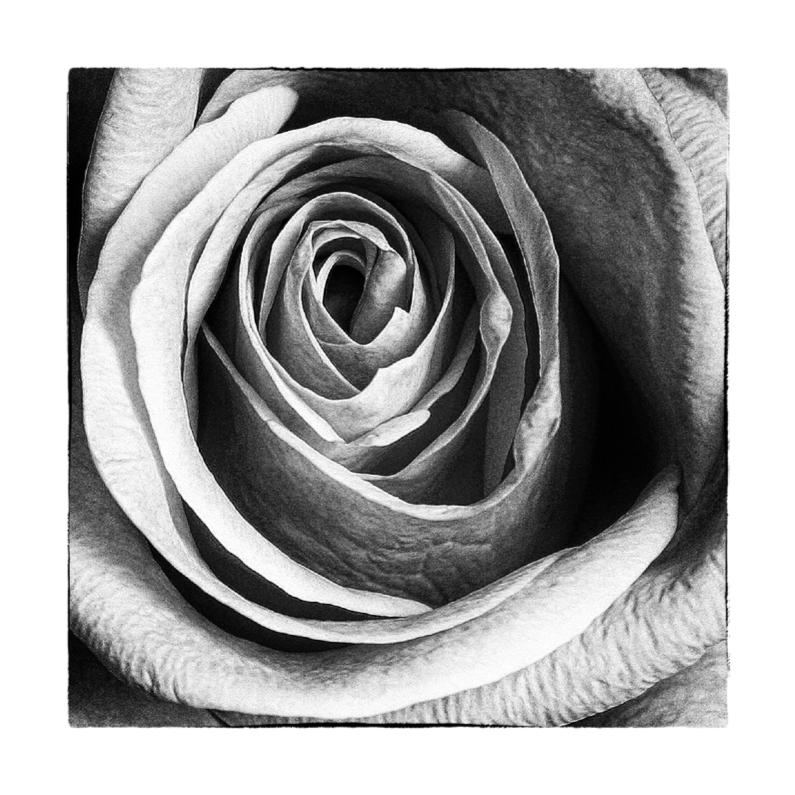 Condoleancekaarten - Condoleancekaart Roos ZwW - OT