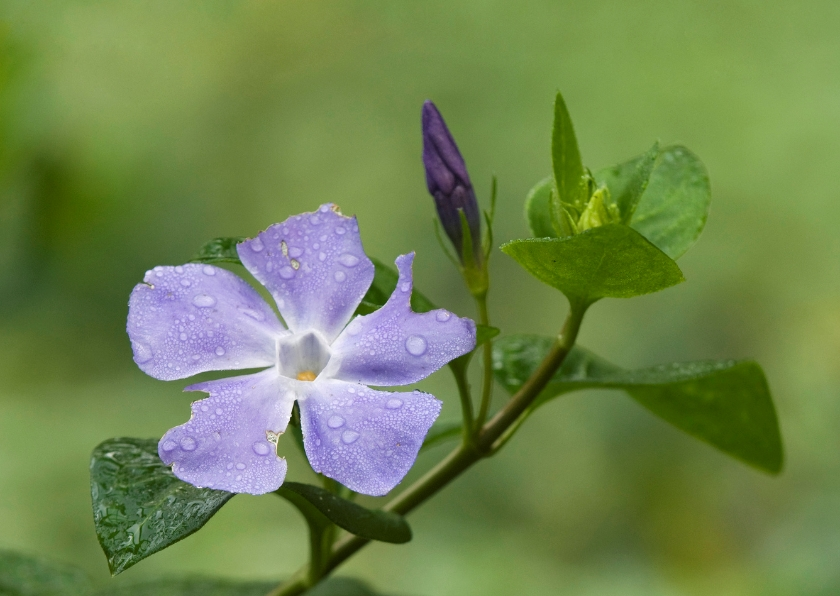 Condoleancekaarten - Vinca Major