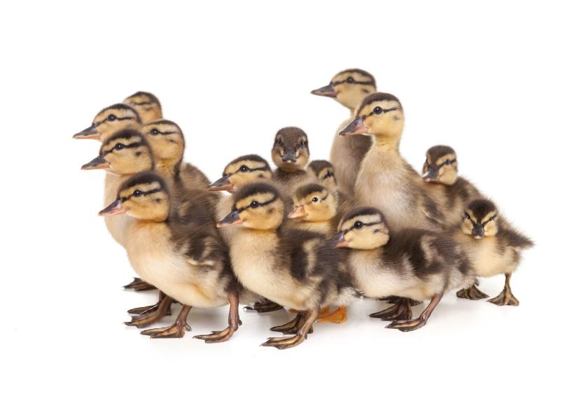 Dierenkaarten - Dierenkaart - Schattige eenden kuikentjes