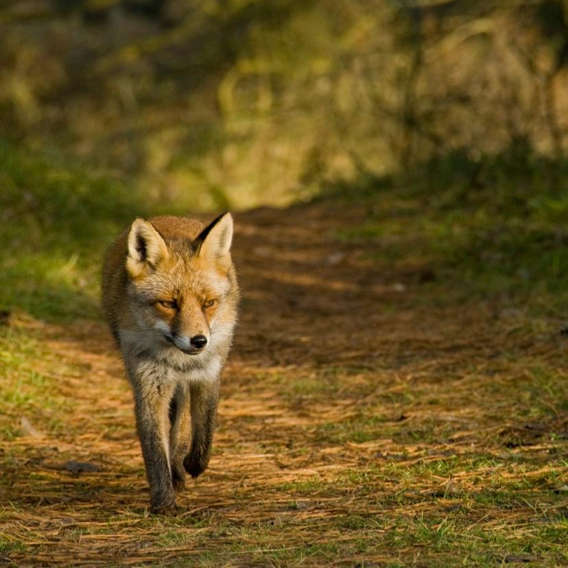 Dierenkaarten - Dierenkaart vos loopt naar je toe