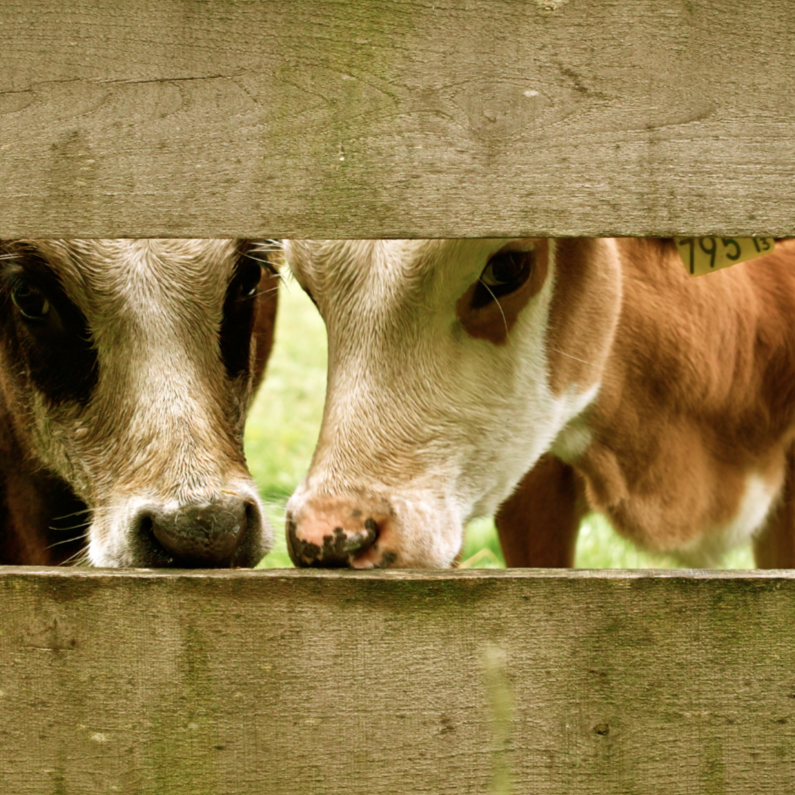 Dierenkaarten - Glurende koeien