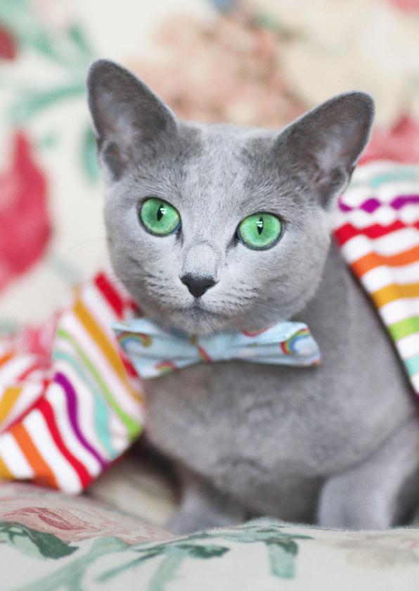 Dierenkaarten - Kaart met regenboogkleuren en grijze kat met een strikje