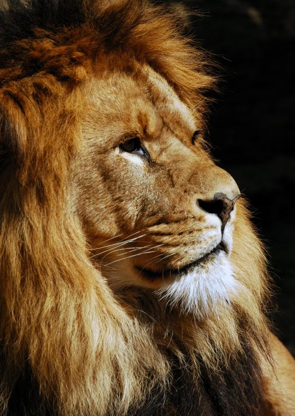 Dierenkaarten - Leeuw kijkt opzij