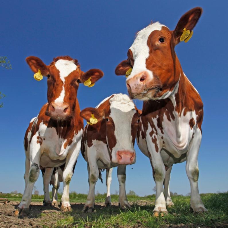 Dierenkaarten - Leuke dierenkaart met mooie koeien
