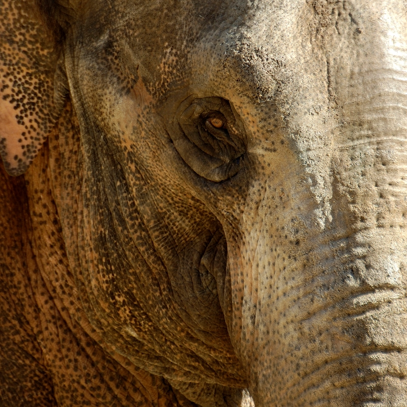 Dierenkaarten - Olifant close-up