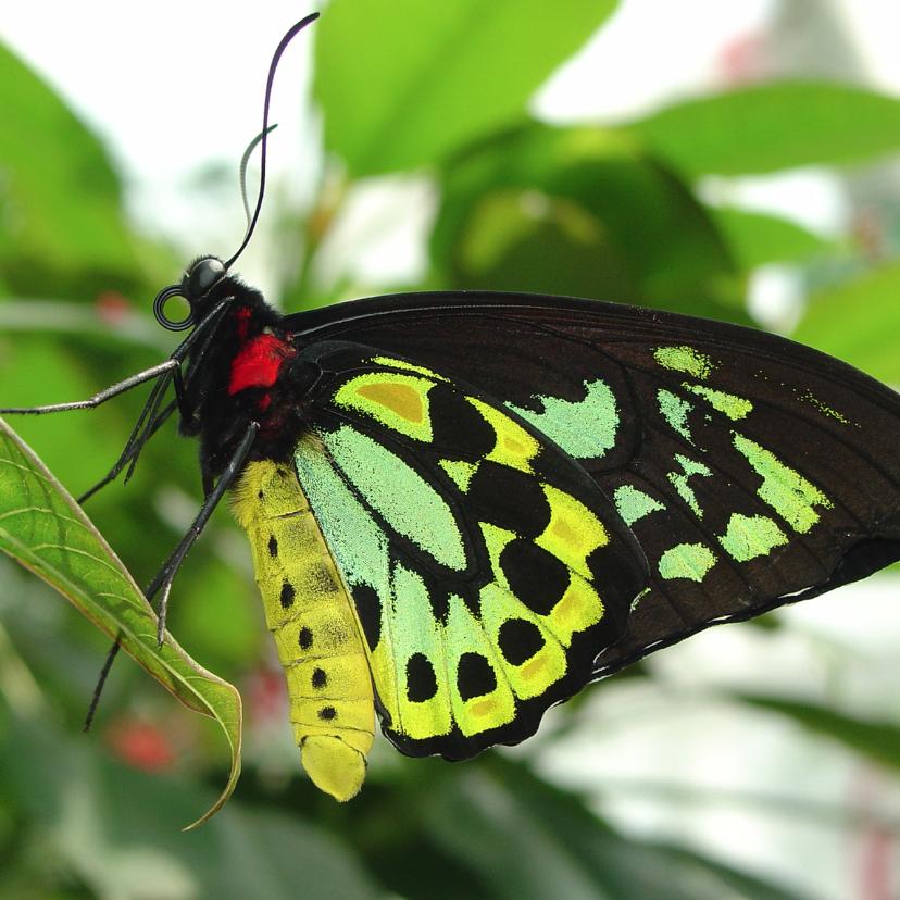 Dierenkaarten - Vlinder groen