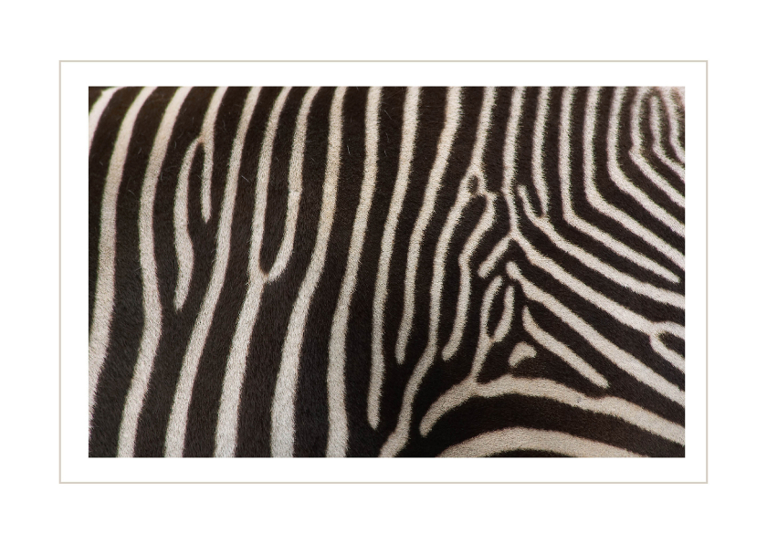 Dierenkaarten - Zebra dierenkaart 2