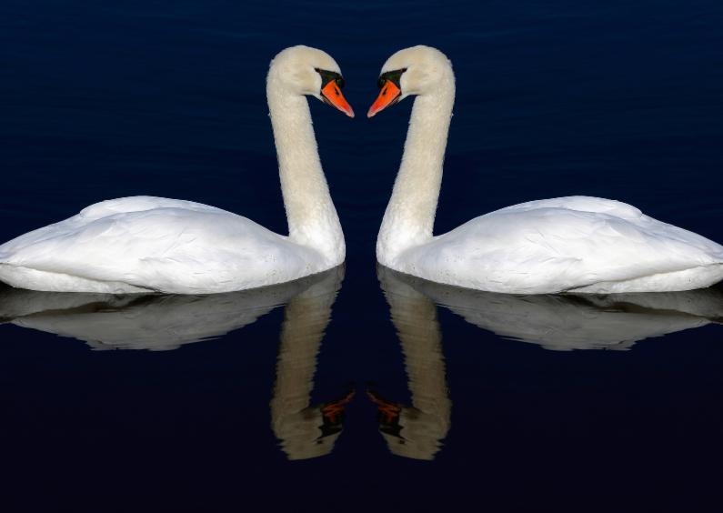 Liefde kaarten - Verliefde zwanen
