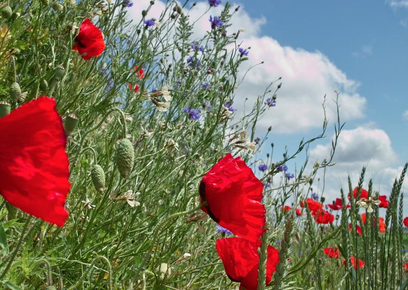 Sterkte kaarten - Klaprozen in bloemenveld