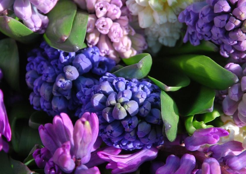 Verjaardagskaarten - Hyacinten paars lila