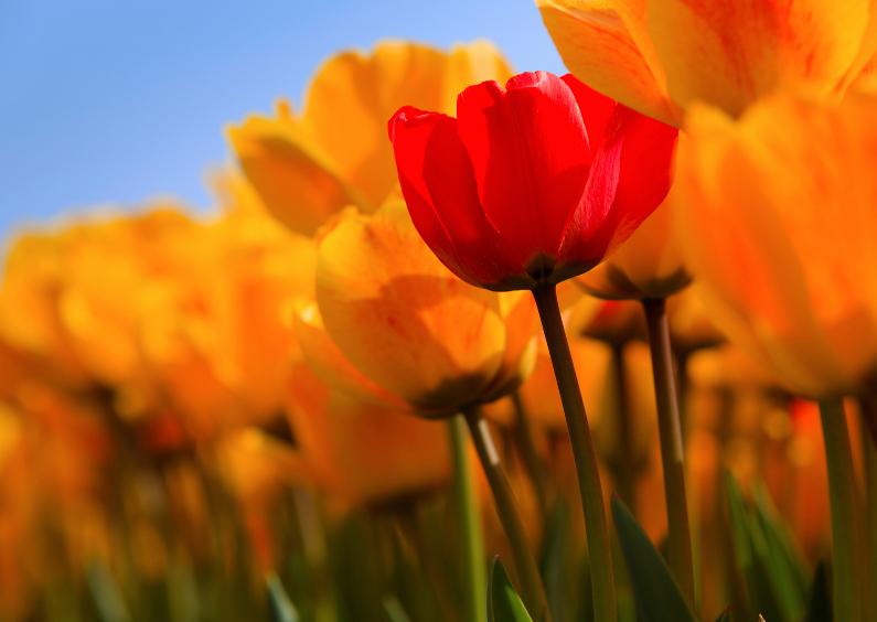 Zomaar kaarten - Hollandse tulpen in volle bloei