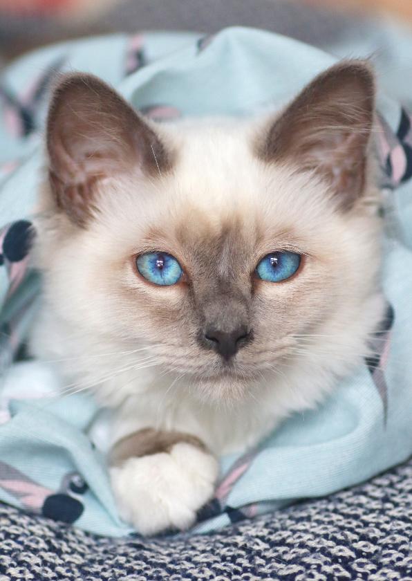 Zomaar kaarten - Lieve kaart met witte kitten en blauwe ogen