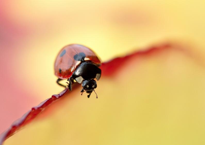 Zomaar kaarten - Lieveheersbeestje op bladrand