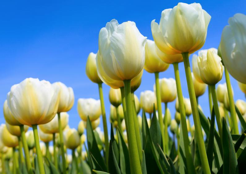 Zomaar kaarten - Witte Hollandse tulpen
